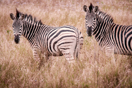 kwazulu natal: Two zebras posing for a camera Kwazulu Natal South Africa