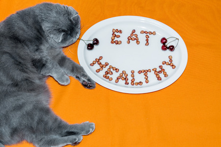messa: Cat Scottish Fold and plate with words Eat Healthy made of cherry kernels on orange background