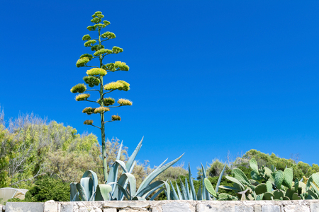 agave: Agave blossom in Malta