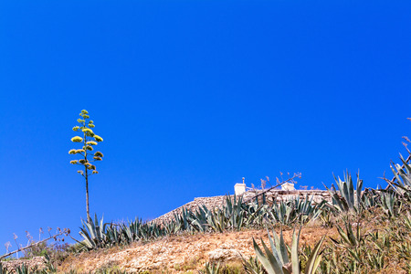agave: Agave blooming on Malta island Stock Photo