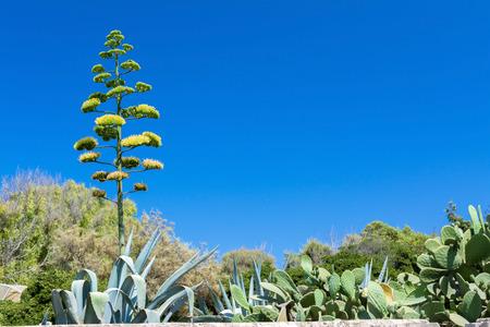 agave: flor de agave en Malta
