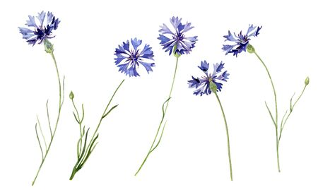 Set of watercolor cornflowers on a white background