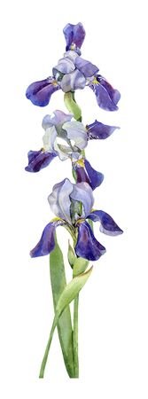 Watercolor composition of irises on a white background Stock fotó