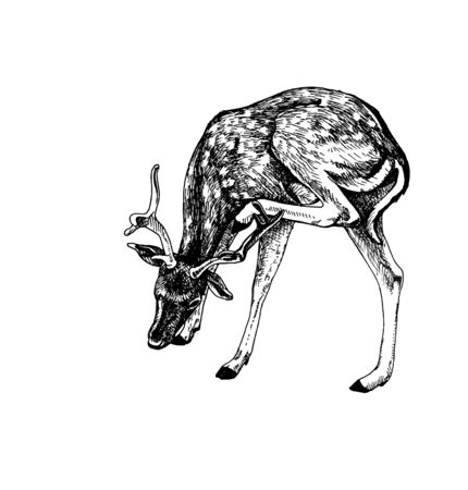 Fallow deer head scratching Illustration