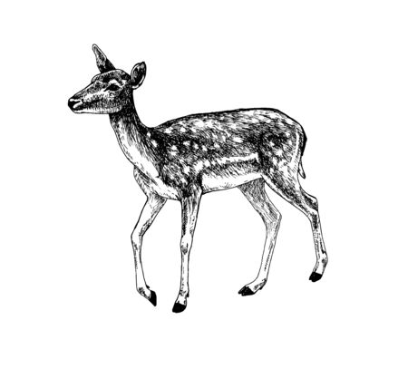 Fallow deer doe walking 矢量图像