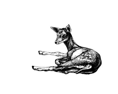 Fallow deer fawn lying Ilustração