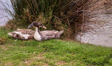 Two wild ducks are sitting next to the shore near the pond.