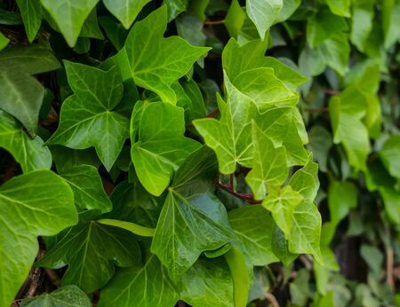 Hedgerow of young and green leaves of common ivy, close-up Stock Photo