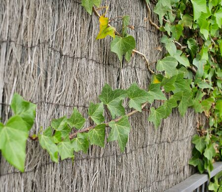 Fence with growing young green ivy ordinary, natural background Stock Photo