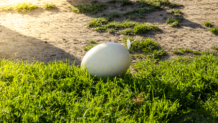 Easter background - white ostrich egg on green grass. Birth of new life concept
