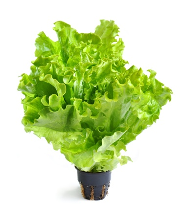 Lettuce in a pot isolated on a white background photo