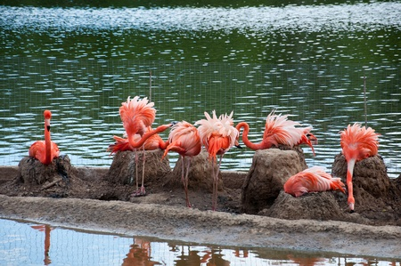 Pink flamingo in the Moscow Zoo photo