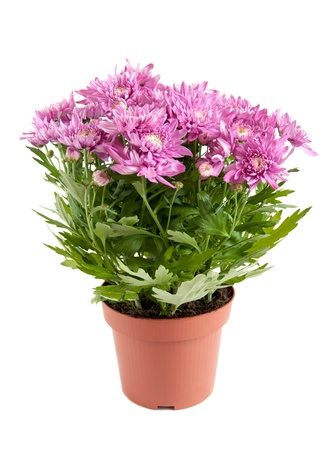 Lilac chrysanthemums in pots, isolated on a white background 写真素材