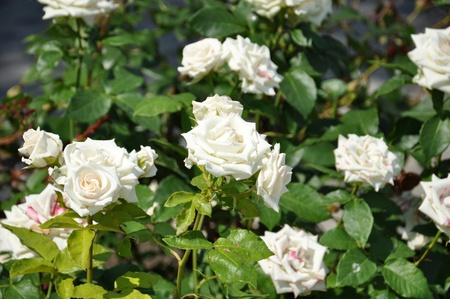 A bush of beautiful white roses 写真素材