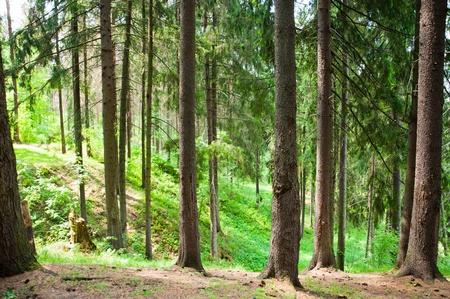 Spruce bosque en el verano