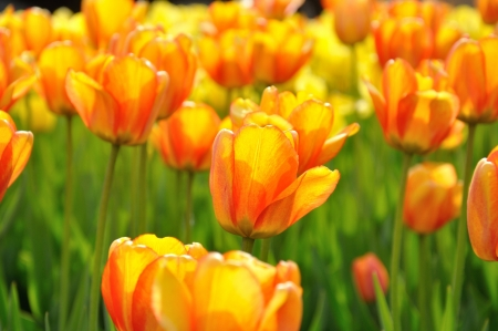 Beautiful orange tulips in the flower bed