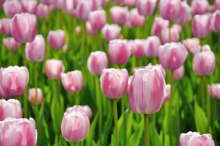Beautiful pink tulips in the flower bed Stock Photo - 13609201
