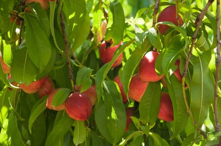 Ripe nectarines on a branch photo