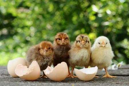 Small chicks and egg shells