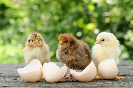작은 병아리와 달걀 껍질 스톡 콘텐츠