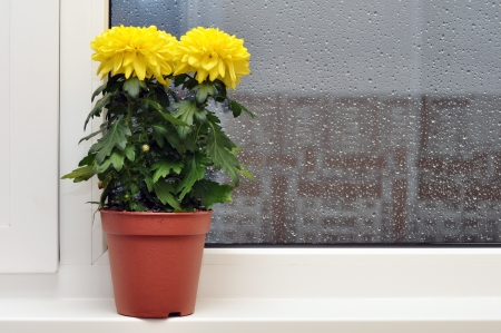 Yellow chrysanthemums on a window sill