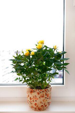 Yellow roses on the windowsill photo
