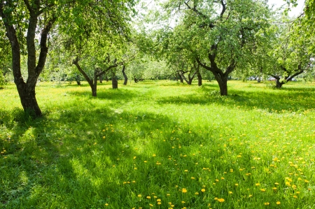 Apple orchard in early spring