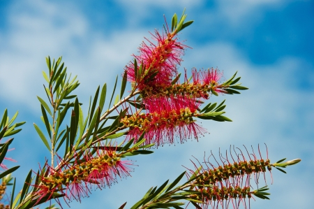 callistemon: Callistemon blooming against the sky