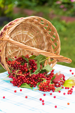guelder rose berry: Red berries of viburnum in a  basket
