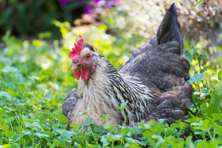 Chickens Laying hens on a grass outdoors day