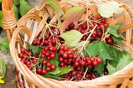 guelder rose berry: Ripe viburnum berries in a wicker basket Stock Photo