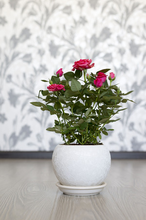 Pink rose in a ceramic pot in the room photo