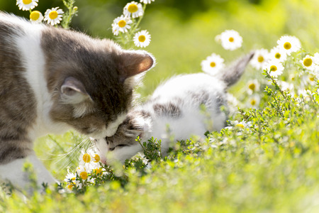 The cat is playing with a kitten on the green grass photo