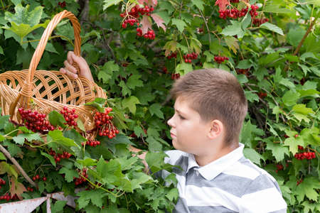 grand sons: Boy collects berries of a viburnum in the garden Stock Photo