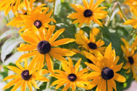 A Yellow rudbeckia flower in the garden photo