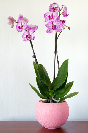 Indoor pink orchid flower in the Interior Stock Photo