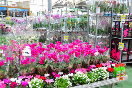 MOSCOW, RUSSIA - MARCH 04 2015: flowers in the OBI store in Moscow Russia. OBI is a German retail chain stores and building 570 stores across the country.