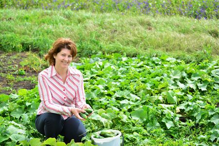 granger: Woman harvests of cucumbers on a summer residence