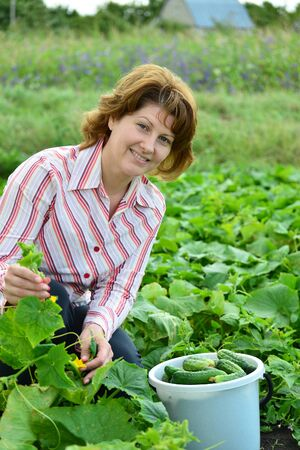 Woman harvests of cucumbers on a summer residence