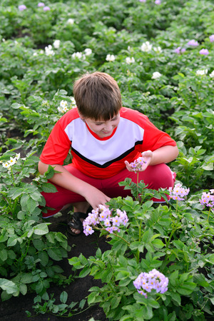 teener: Boy teenager growing potatoes in the garden