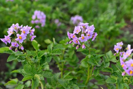 day flowering: A Flowering potatoes in the summer day Stock Photo