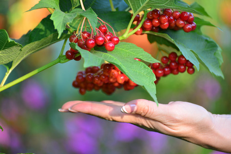 clusters: Large clusters of red viburnum in a female hands Stock Photo