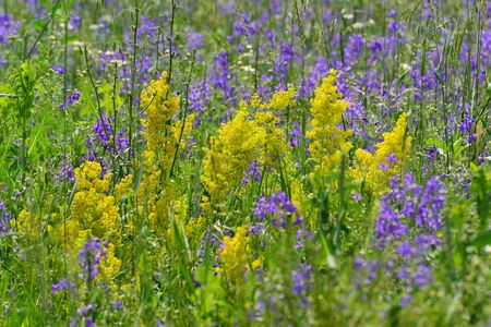 yellow wildflowers: Blue and yellow wildflowers in  meadow in summer