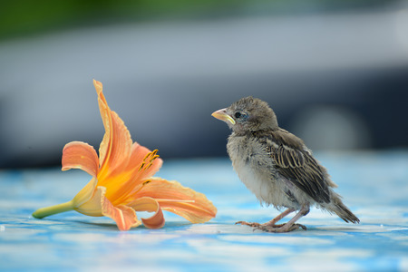orange lily: young sparrow is worth about a Orange lily