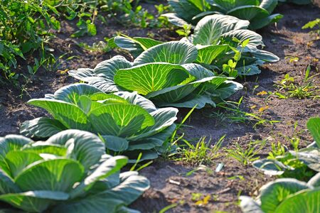 accosting: The harvest of cabbage in the garden