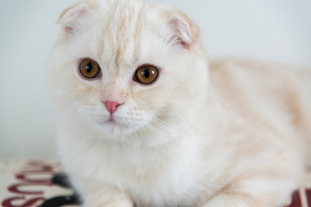 lop eared: closeup portrait of a scottish fold kitten Stock Photo