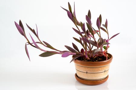 unpretentious: Tradescantia in a pot on a light background Stock Photo