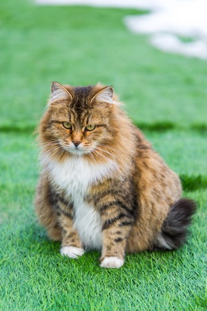 enceinte: A Pregnant colored cat outdoors on a grass