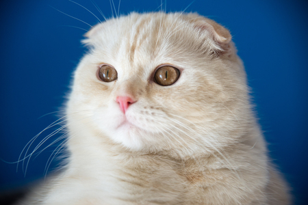 age 5: Portrait of a Scottish Fold 5 months of age