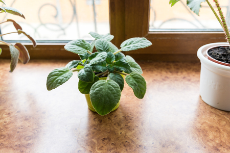 windowsill: Violet in a pot on the windowsill